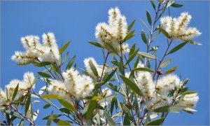 Niaouli (Melaleuca quinquenervia ct cinéole)