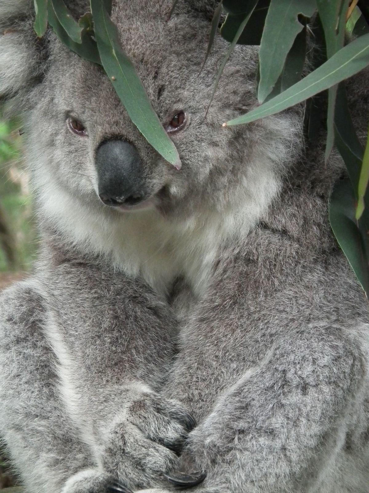 philip island ferry penguins koalas kangaroos