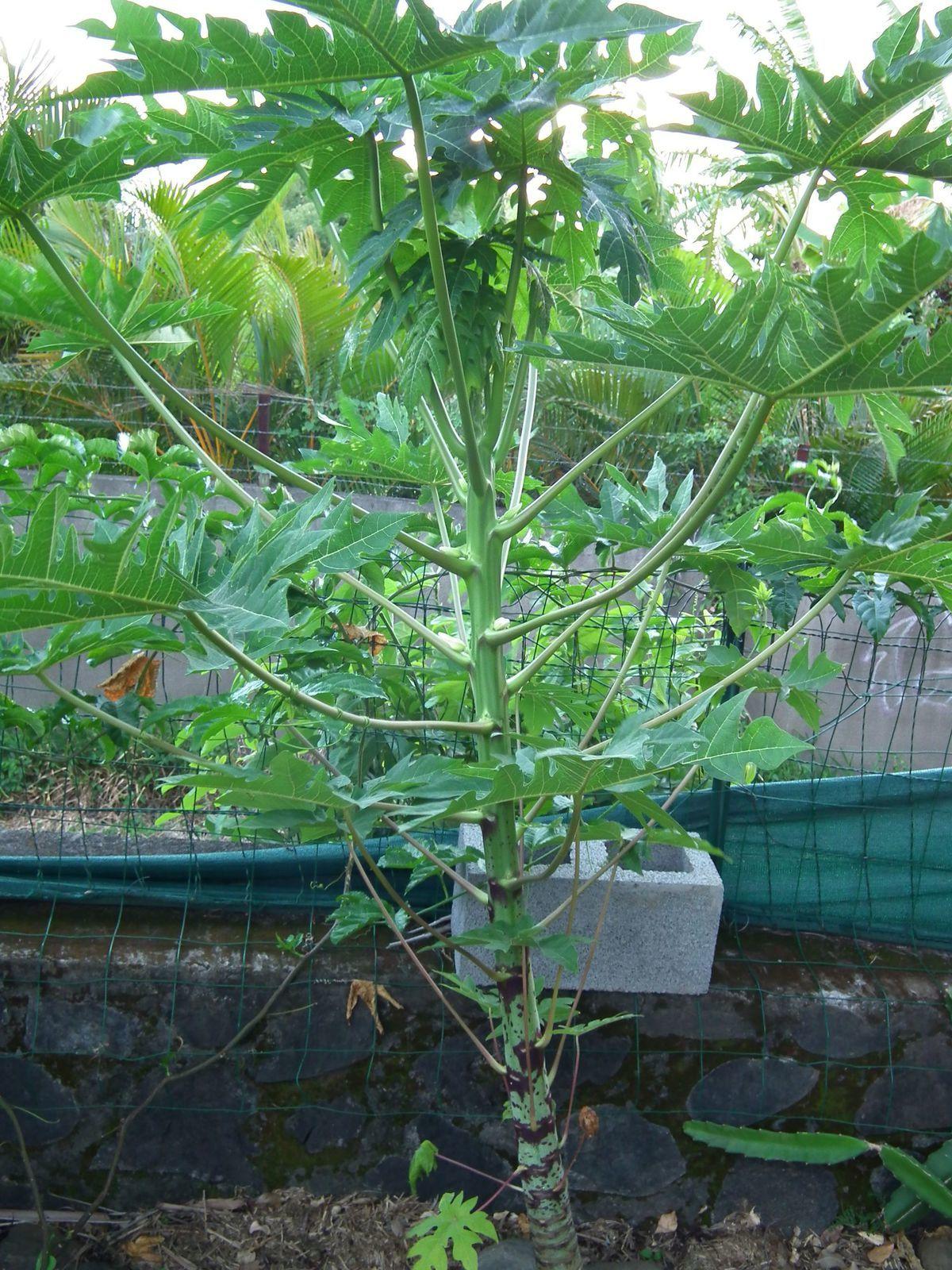 papayer, en pot durant 1 an et demi et planté il y a 6 mois. Il a poussé monstrueusement vite (alors que 3 autres pieds à d'autres endroits végètent dans le jardin depuis 1 an). Me voilà soulagée depuis 15 jours car on voit que c'est bien un pied femelle : il prépare ses fleurs pour faire des fruits le long du tronc.