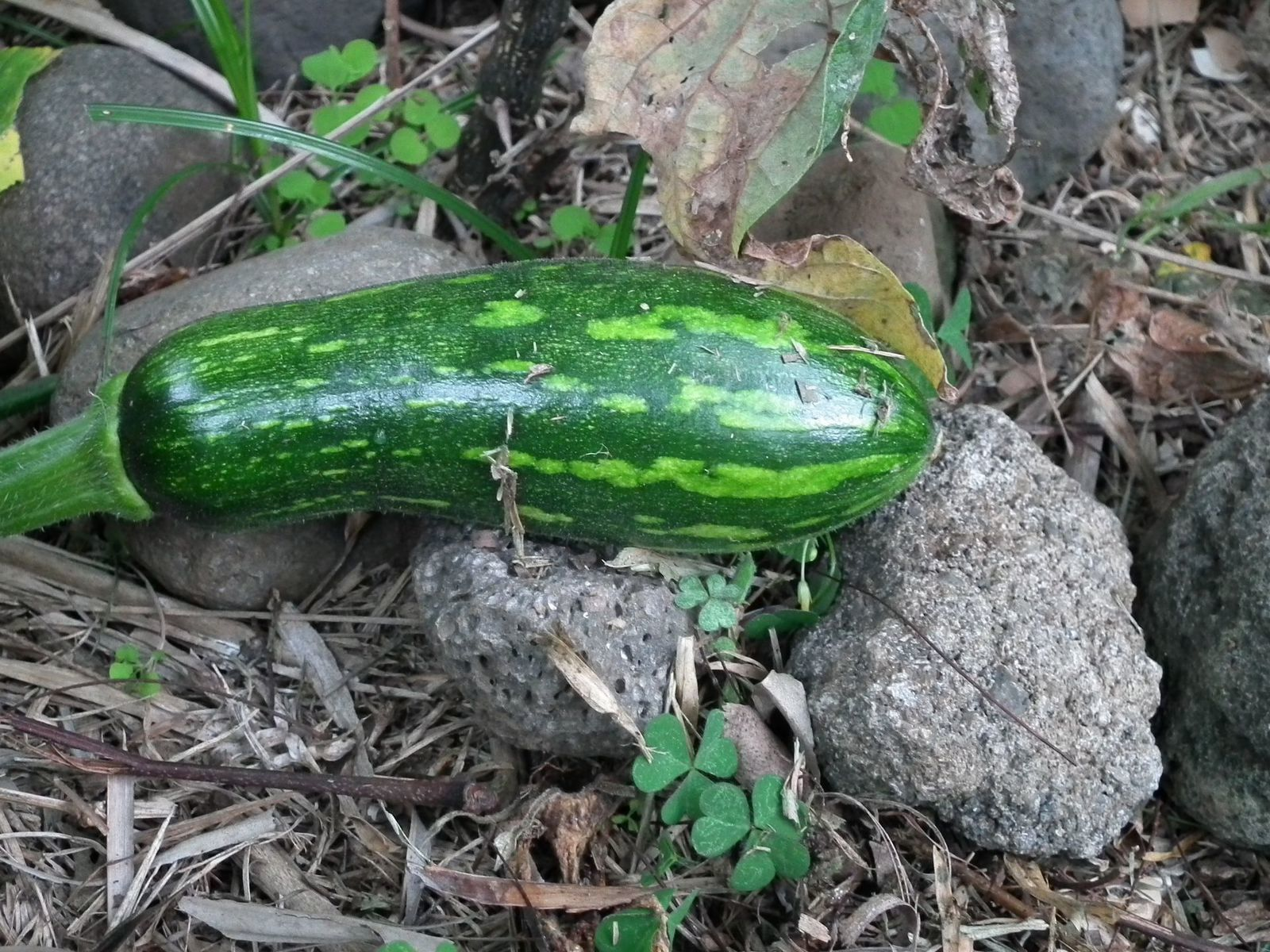 Courge ou courgette?