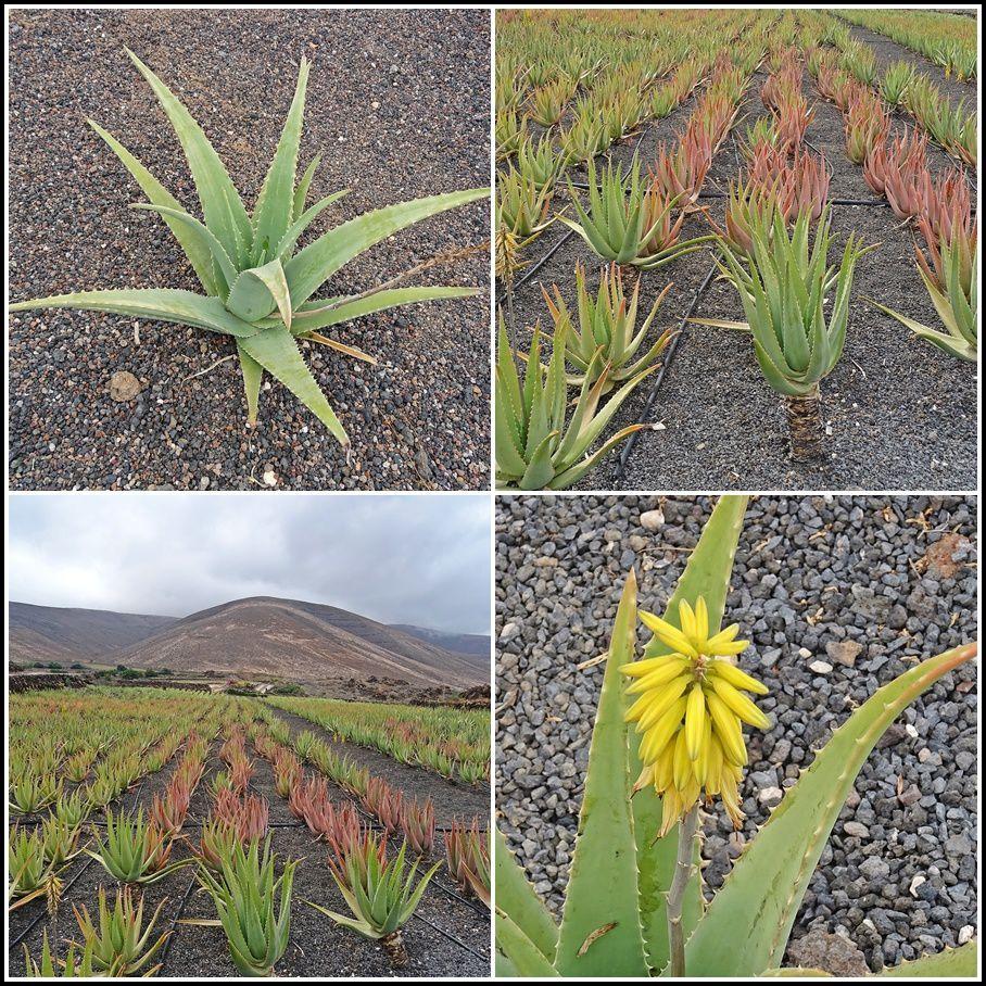 Ah, cette plante, je sais ! Il s'agit de l'Aloé Véra ! Celle de Lanzarote est mondialement réputée, car cultivée sur des sols volcaniques. Ce que j'ai retenu également, c'est que l'Aloé Vera ne fait pas partie de la famille des cactus, mais de celle de l'oignon !