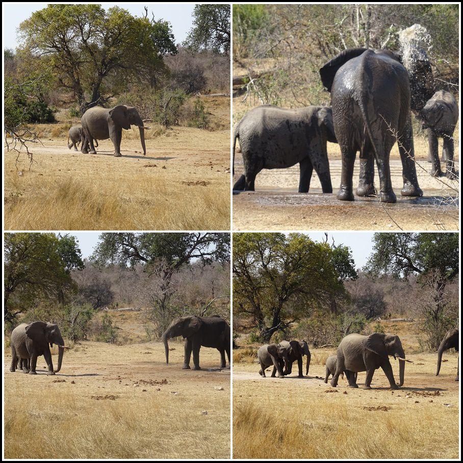 L'éléphant d'Afrique mange de l'herbe, des fruits, des feuilles, des écorces, des racines (entre 200 kg et 300 kg de nourriture par jour).  Il doit boire beaucoup, donc être à proximité d'un point d'eau. Même s'il peut passer plusieurs jours sans eau, il peut boire jusqu'à 200 litres d'eau par jour.