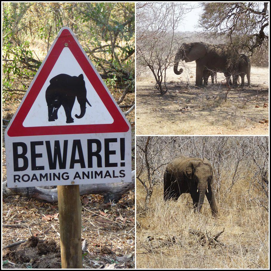 L'éléphant d'Afrique, appelé aussi éléphant de savane d'Afrique, est un mammifère herbivore de la famille des éléphantidés très répandu sur le continent africain.  Il se différencie de l'éléphant d'Asie par une taille plus importante, un dos concave et des oreilles plus grandes.