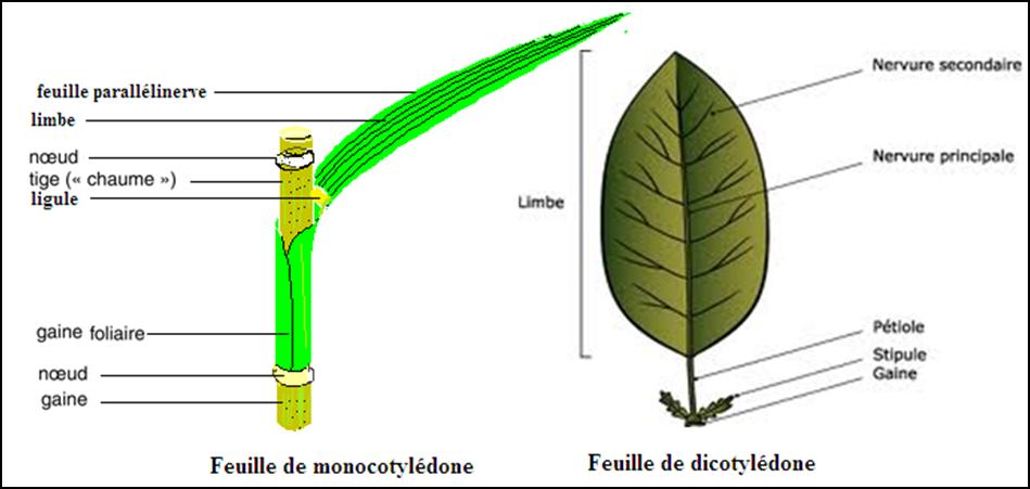 Les principales caractéristiques des monocotylédones et dicotylédones