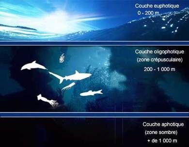 La zone photique, aussi nommée zone euphotique ou zone épipélagique, est la zone aquatique comprise entre la surface et la profondeur maximale d'un lac ou d'un océan, exposée à une lumière suffisante pour que la photosynthèse se produise. La profondeur de la zone photique peut être grandement affectée par la turbidité saisonnière. Elle s'étend jusqu'à une profondeur à laquelle l'intensité lumineuse résiduelle correspond à 1 % de celle en surface (également appelée « profondeur euphotique »). Sa taille dépend de l'étendue de l'atténuation lumineuse dans les colonnes d'eau. Typiquement, la profondeur euphotique varie de plusieurs mètres dans les estuaires turbidiques jusqu'à environ 200 mètres en haute mer. En milieu marin, la zone photique correspond à la partie supérieure de la zone pélagique. La zone photique est la seule zone aquatique où la productivité marine primaire (algues, phanérogames) existe, à l'exception de la productivité abyssale (turbine hydrothermale) le long des rifs océaniques. La profondeur de cette zone est généralement proportionnelle au niveau de productivité primaire. Environ 90% de toute la vie marine vit dans la zone photique. (…Wikipédia)