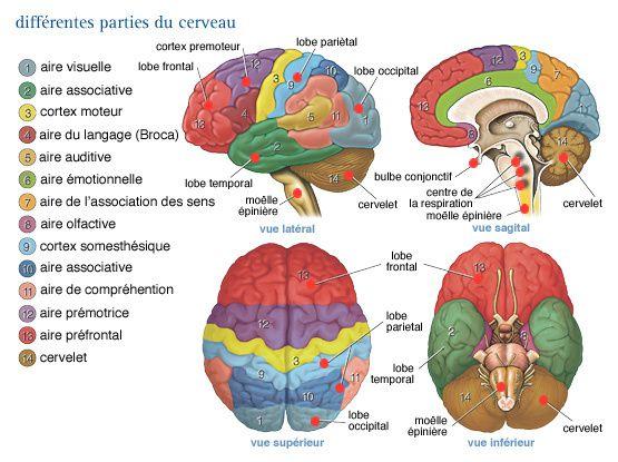 Utiliser bien et à fond le cerveau : le meilleur service que nous puissions nous rendre ainsi qu'aux autres !