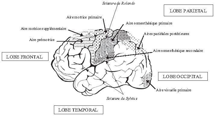 A la découverte des neurones multisensoriels