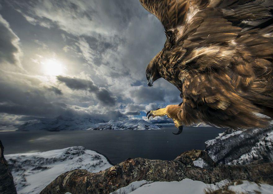 « Atterrissage de l'aigle royal » de Audun Rikardsen