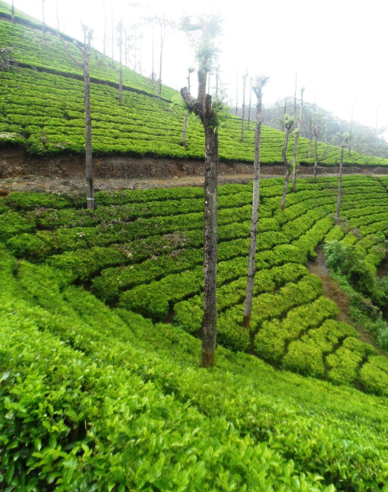 Munnar, les richesses de l'Inde