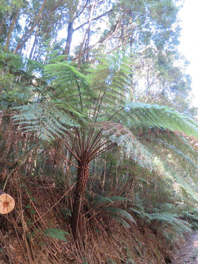 Eucalyptus géants et fougères arborescentes. Ph. Delahaye.