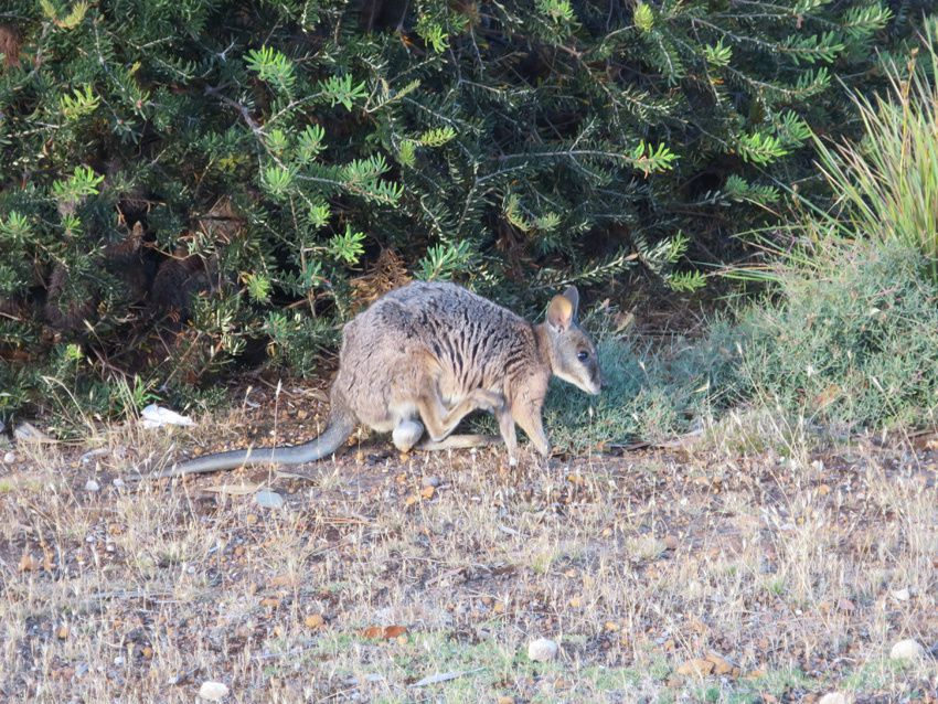 Wallaby sur le bord de la route. Ph. Delahaye.