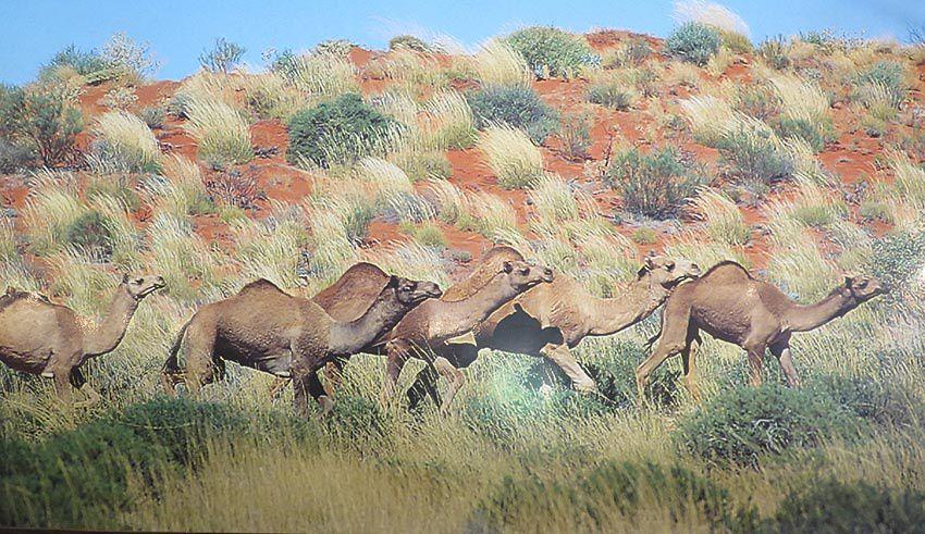 Troupeaux de chameaux dans le bush.