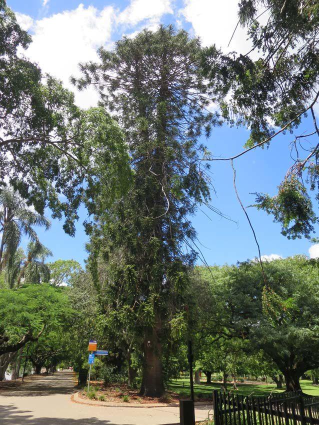 Arbres d'une hauteur remarquable côtoient des arbres fleuris. Ph. Delahaye.