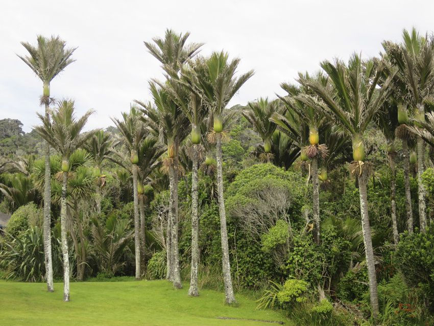 Nikau Palm. Ph. Delahaye.