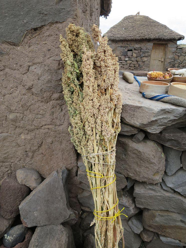 Quinoa et élevage de cochons d'Inde. Ph. Delahaye.