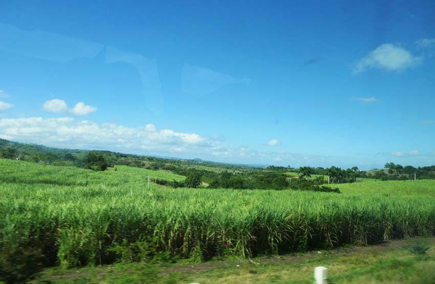 Cultures de canne à sucre. Ph. Delahaye.