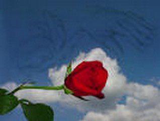 Ô ma rose