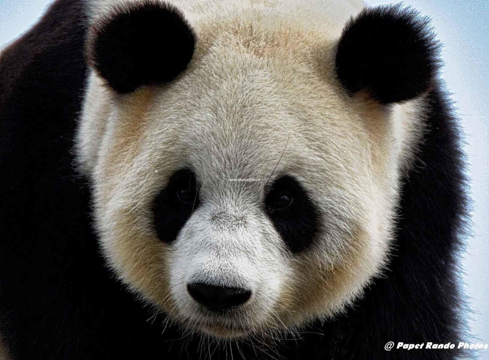 Nos Pandas   toujours beaux a voir, mais pas souvent longtemps de sortie