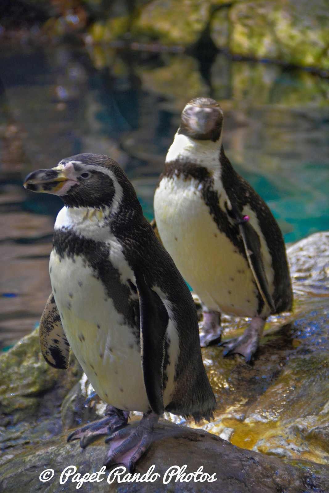 La planete des Pingouins (  5 especes diferentes ) a Tenerife Parc Loro Parque Magnifique, il n'y a pas d'autres mots