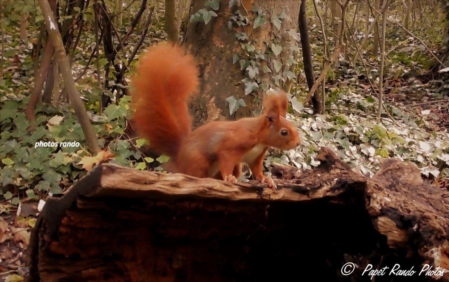 Une petite journée au bois, (prés de chez moi), avec beaucoup de chance, des écureuils en pleine forme. ils auront bientot un long repos