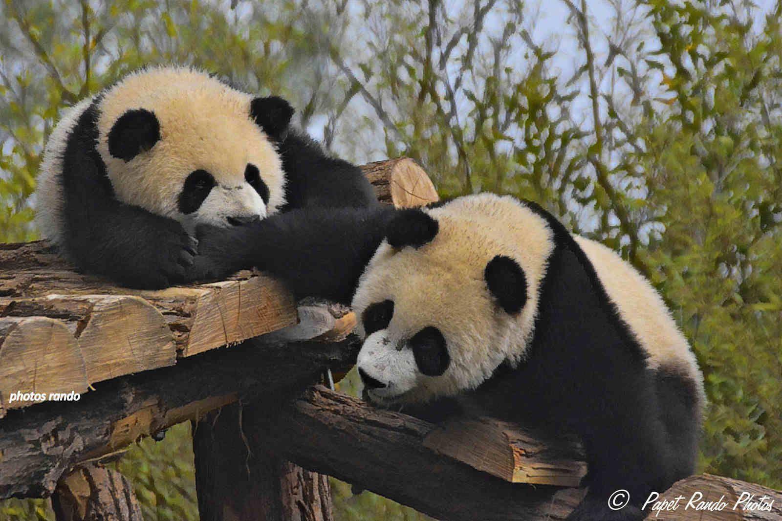 Les Photos  = 2014 Hao Hao 2014 (femelle) Xing Hui (Male), puis 2016  Tian Bao avec sa maman Hao Hao,2020  photos Hao Hao avec les jumeaux Bao Di (petit frere de Tian Bao) Bao Mei petite soeur de Tian Bao