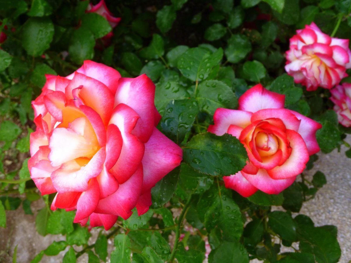 L'alterarosa 2014 se cache parmi ces roses. Saurez-vous retrouver la Mustard Ketchup qui l'a emporté? (juin 2014, images personnelles)