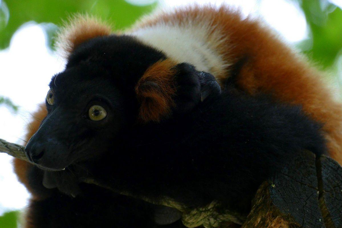 Makki Catta(1), Lémur  couronné (2,3), Vari noir et blanc (4 et 5) et Vari roux (6 et 7) (juillet 2016, images personnelles)
