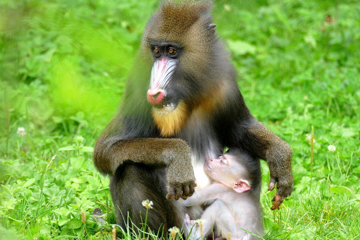 Une maman mandrill terriblement attentionnée envers son petit ( juillet 2016, images personnelles).