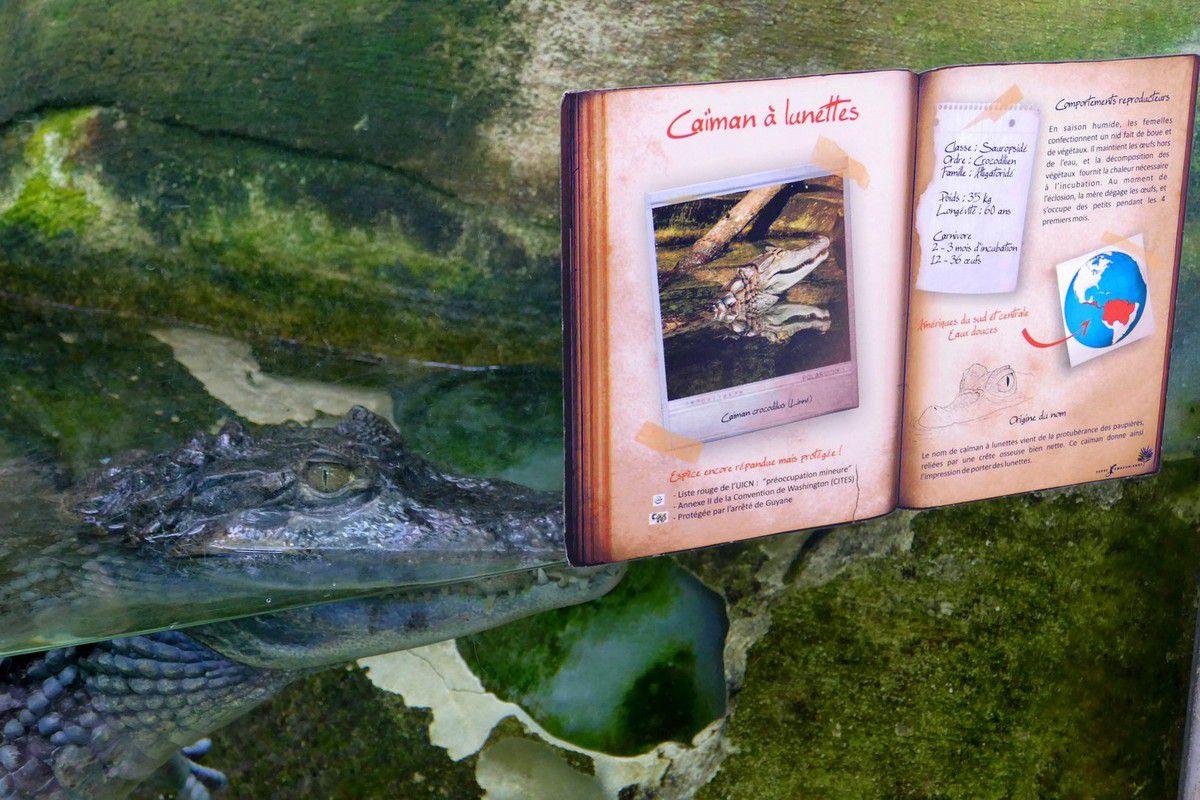 Caimans, piranhas, tortues occupent le premier bassin à l'entrée (février 2017, images personnelles)