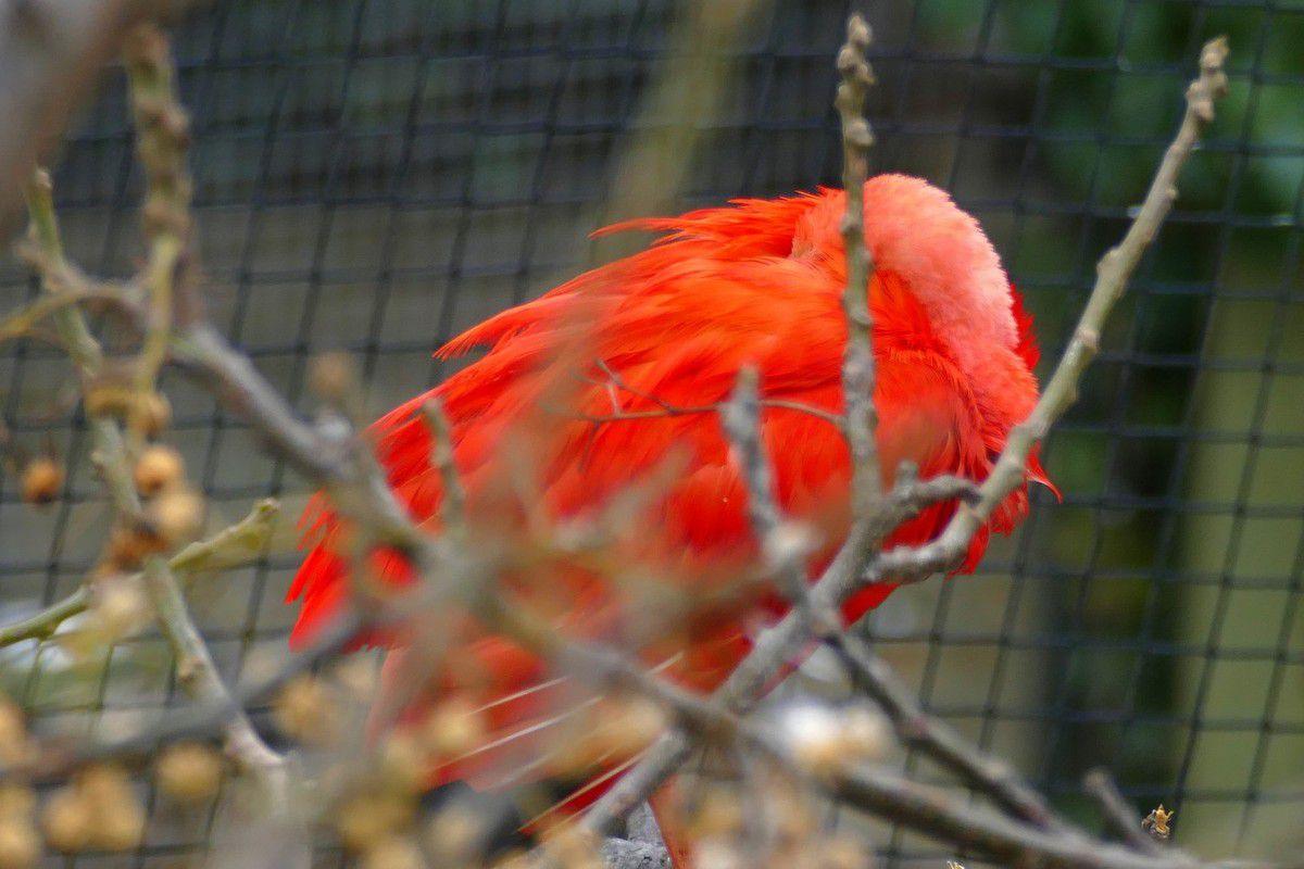 En point d'orgue de la visite, la volière des ibis rouges (février 2017, images personnelles)