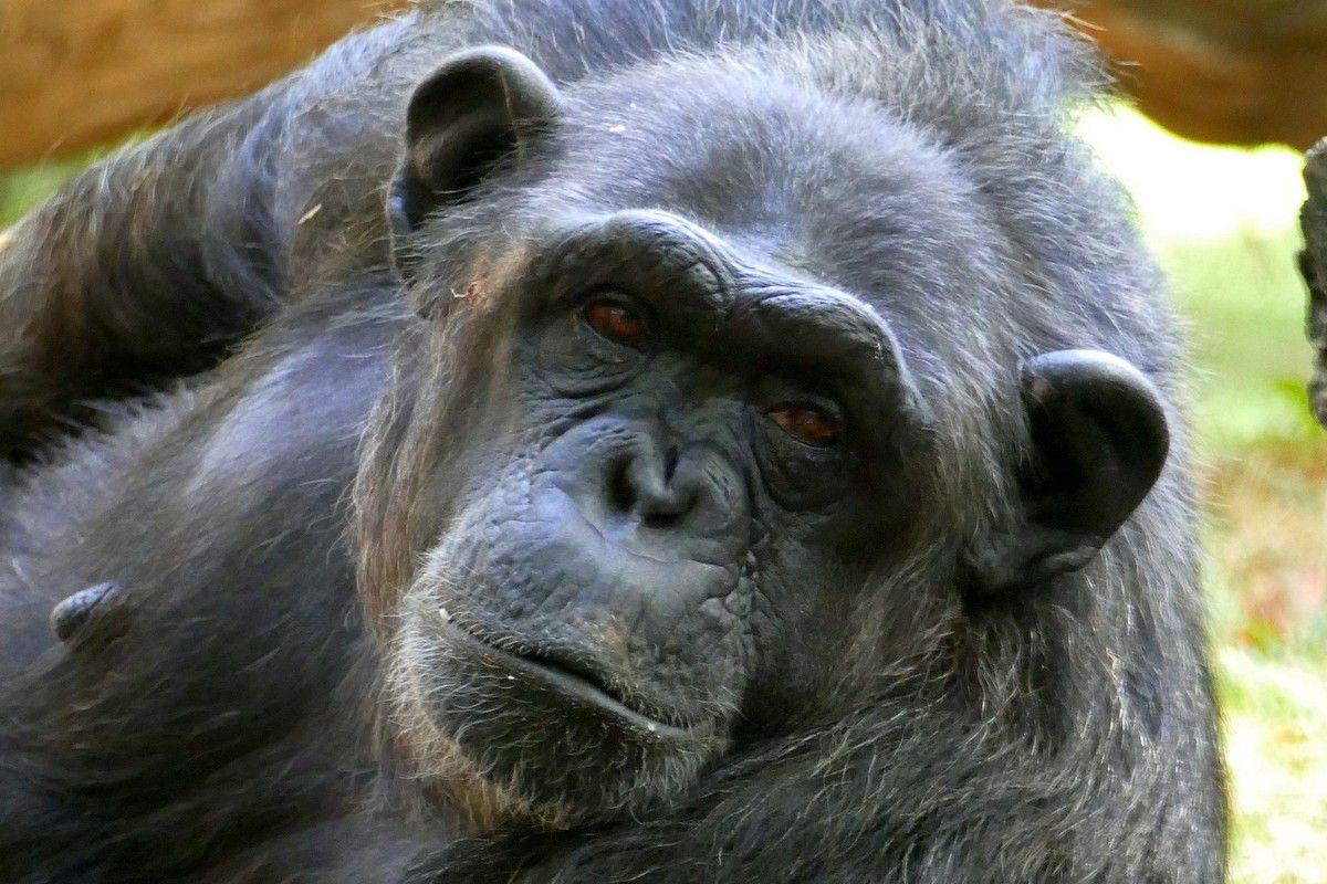 Galerie de portrait des gorilles et des chimpanzés (juillet 2017, images personnelles)
