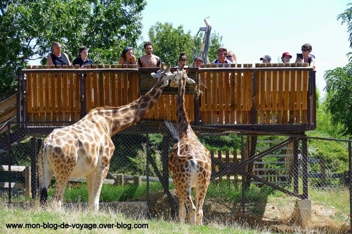 Les bébés girafons (photo 1 et 2) ne sont jamais bien loin de leurs parents (photo 3) (août 2017, images personnelles)