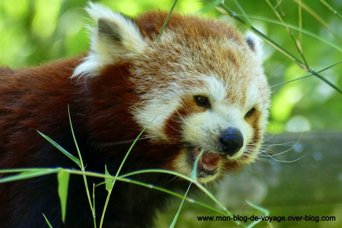 Un panda roux dans une séance détente de haut vol (août 2017, images personnelles)