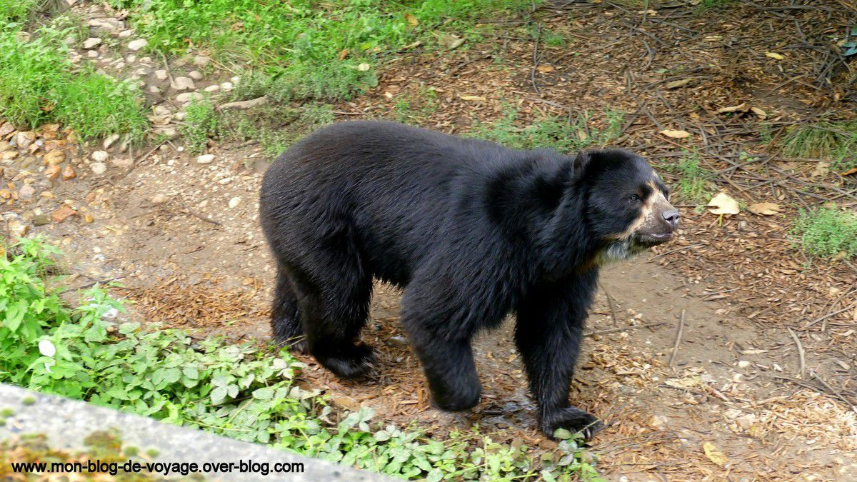 Les impressionnants ours à lunettes et lions d'Asie font partis des animaux préférés des visiteurs (août 2017 et août 2018, images personnelles)
