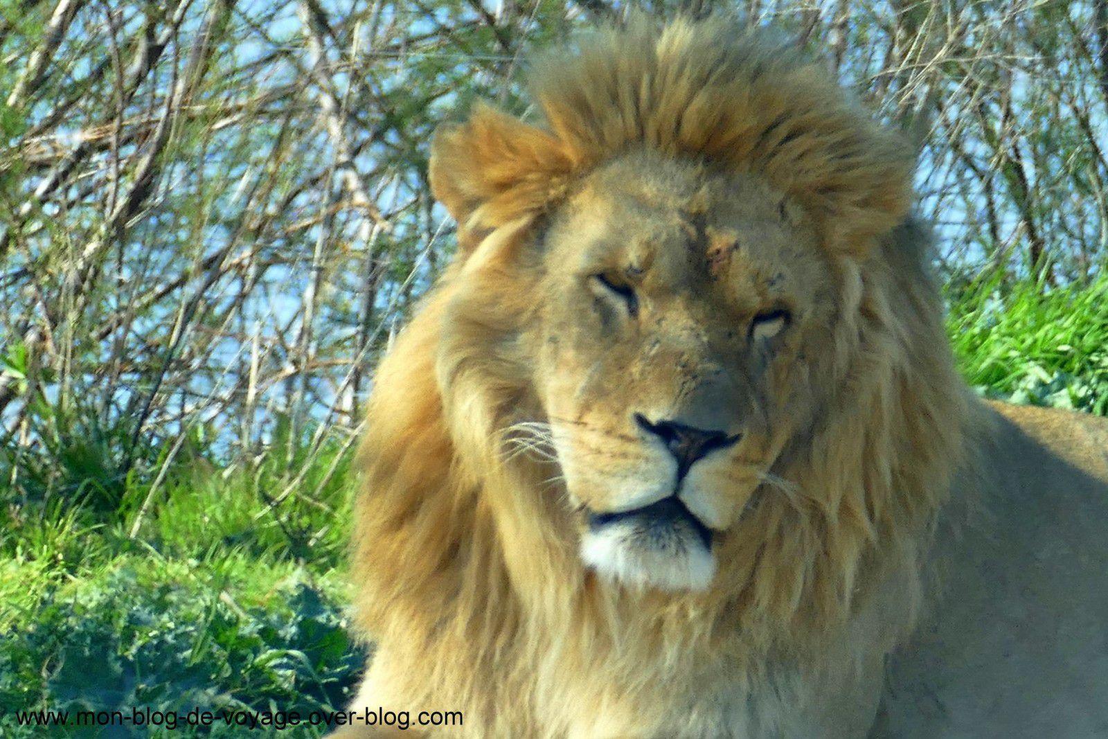 Le groupe de lions et lionnes profitant du soleil du printemps (juin 2016 et mars 2019, images personnelles)