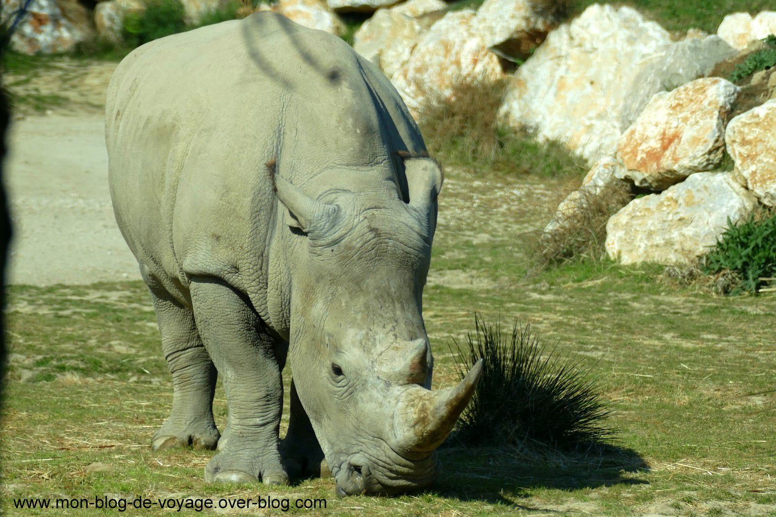 Les impressionnants rhinocéros blancs que les visiteurs peuvent découvrir dans ce parc en toute sécurité (mars 2019, images personnelles)