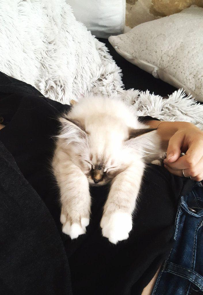 """Mon chat est un """"Sacré"""" Sacré de Birmanie"""