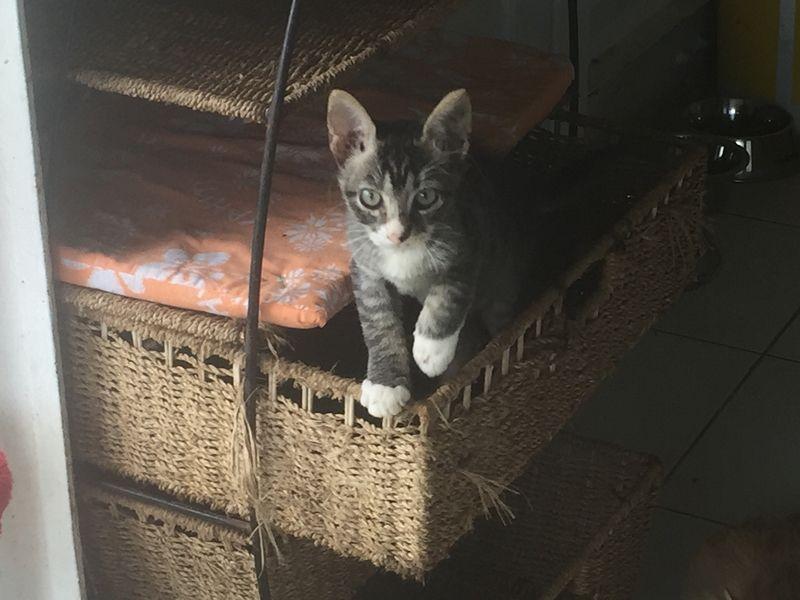 MOHA s'appelle SVEN - chaton né le 04/09/2016 - adopté