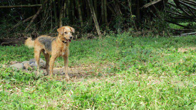 SPOTTY - mâle croisé berger de picardie-fox - né en octobre 2015 - adopté