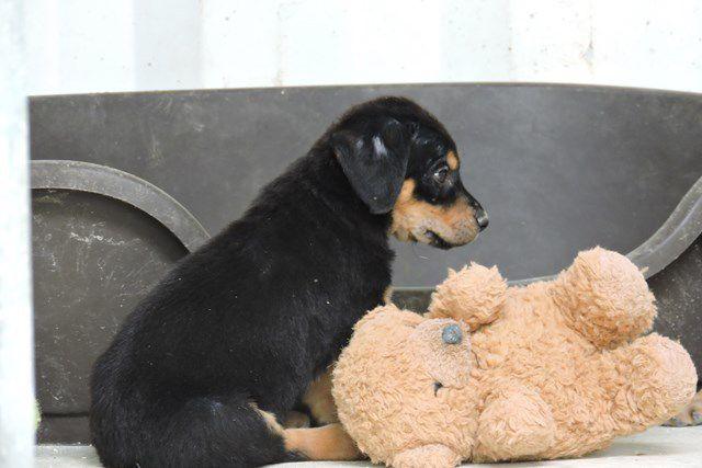 EYES s'appelle SPEEDIE - femelle croisée labrador - née le 17/12/2016 - ADOPTEE