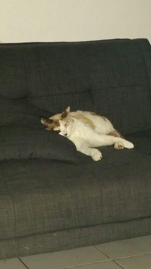 GRIOTTE - chatte tortie pointe (très rare) - yeux bleus - 2 ans - adoptée