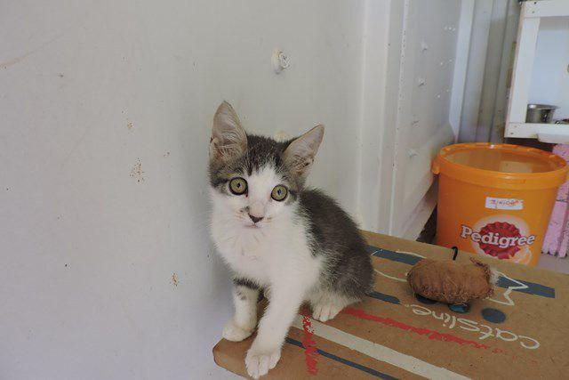 DIABOLO - chaton mâle - Adopté à 2 mois