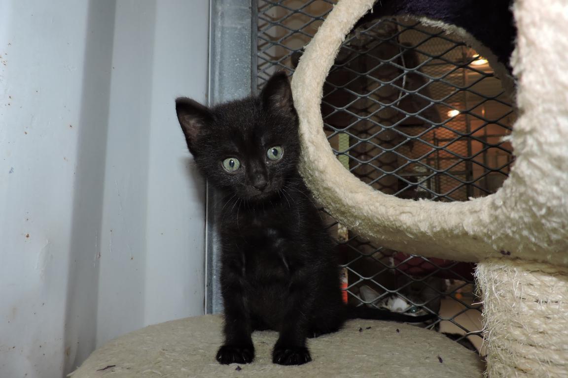 ZEB s'appelle NEBULA - chaton femelle - née le 20 février 2017 - adoptée