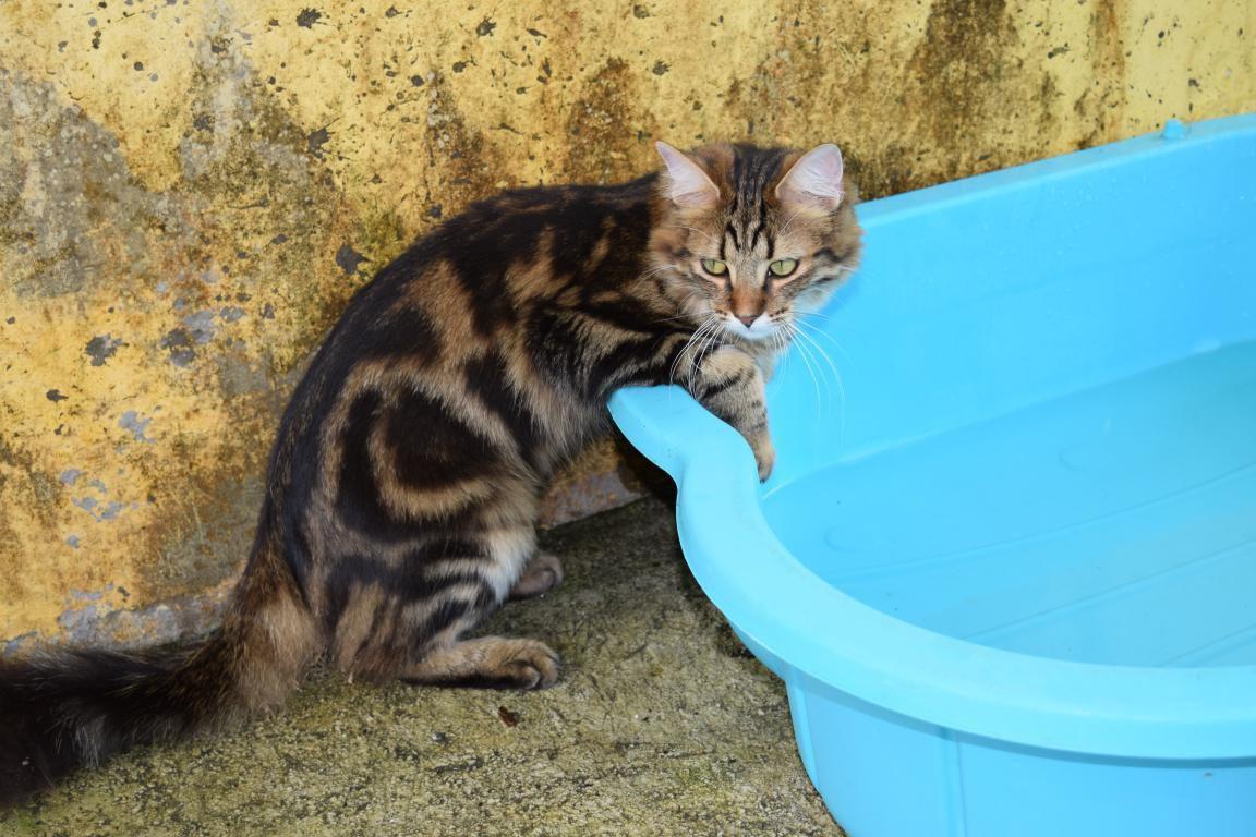 MOON - chaton mâle croisé main coon - adopté à 2 mois