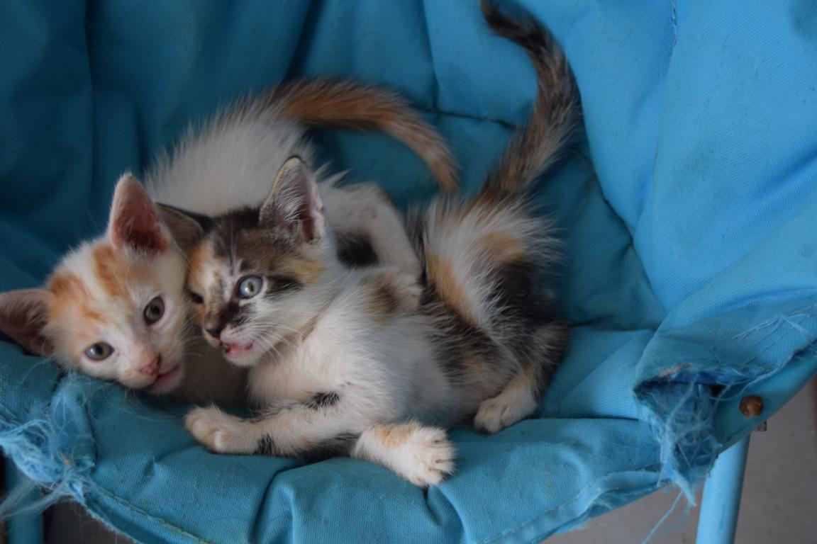 MAGNET - chaton mâle blanc et roux - né le 6 avril 2017 - adopté AU REFUGE SPA DE MOREE