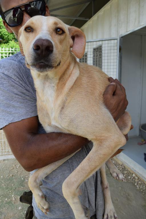 NAYA -  femelle croisée labrador - née le 09/05/2015 -  adoptée
