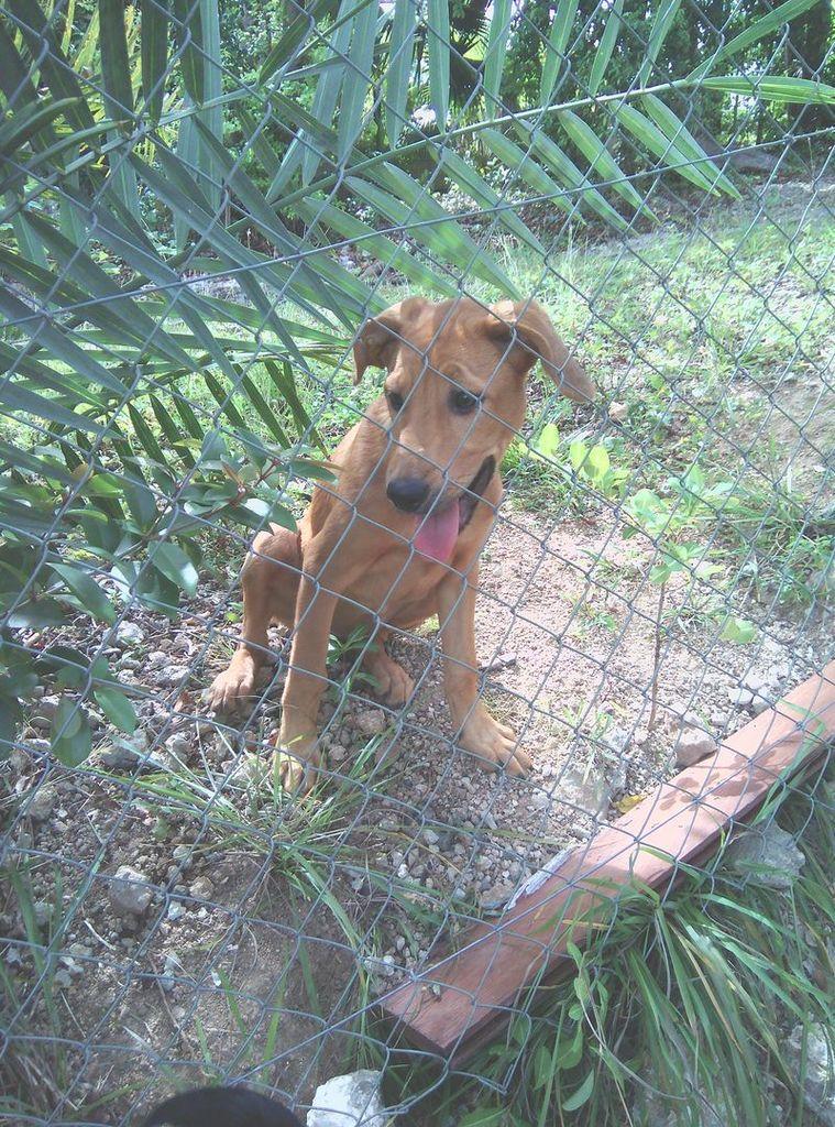 TAC - chiot femelle - 3 mois - créole - adoptée
