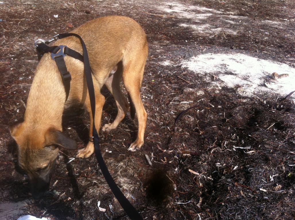 LENI - croisé berger - castré - 9 mois - adopté