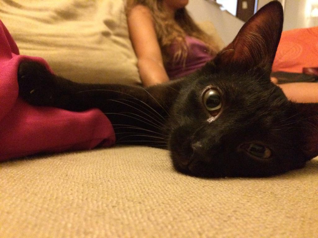 MERLIN - chat mâle noir - né 14/06/2016 - castré - adopté