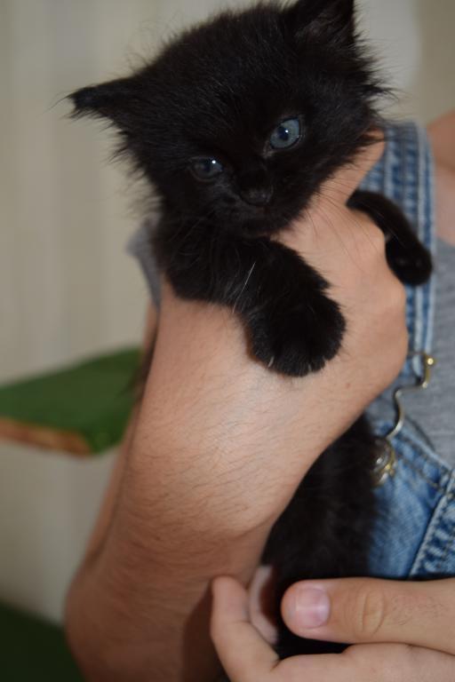Idéfix - noir poils longs - chaton - au paradis des chatons